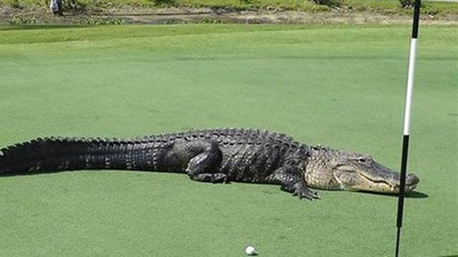 Cá sấu trên sân golf